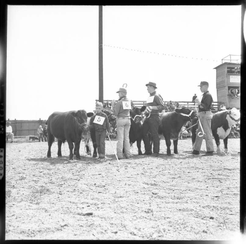 Fat Cattle Show.