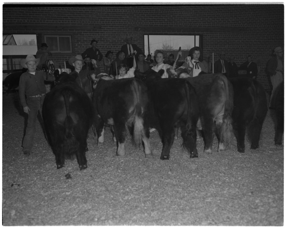 Fat Cattle Show.